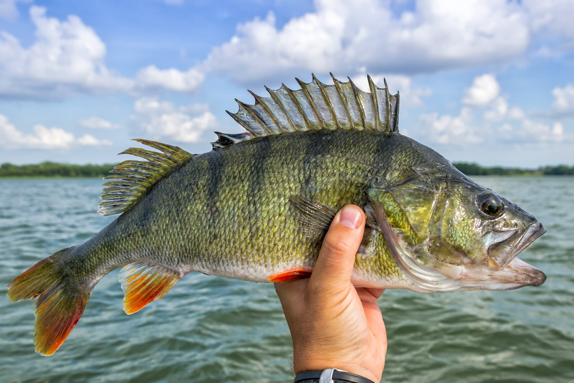Huge Perch Fish from the Lake
